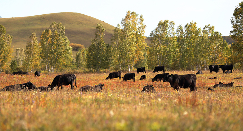 莫拐农场引进安格斯肉牛推动畜牧业转型升级
